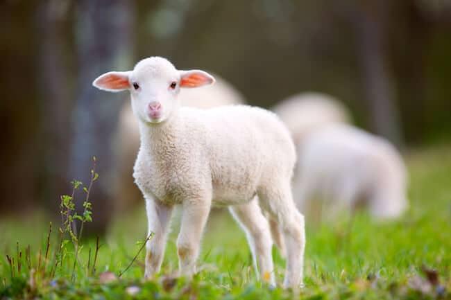 5 Reasons Lambs Are Really Just Baby Unicorns - ChooseVeg