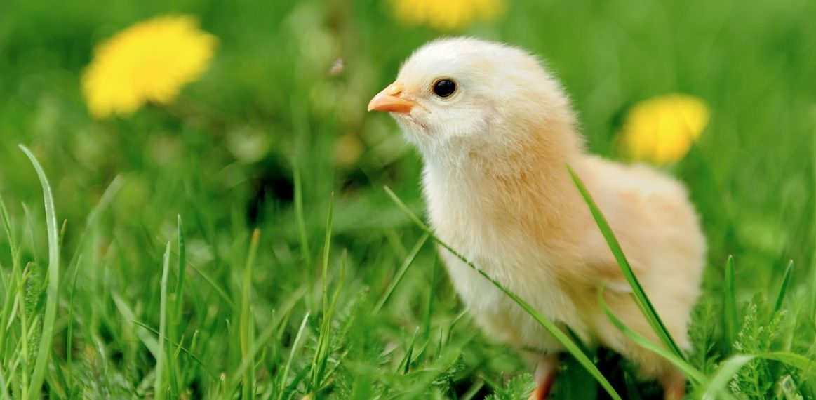9 Fascinating Facts That Will Change How You See Chickens