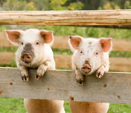 11 Pigs That Are Way More Important Than Work Right Now