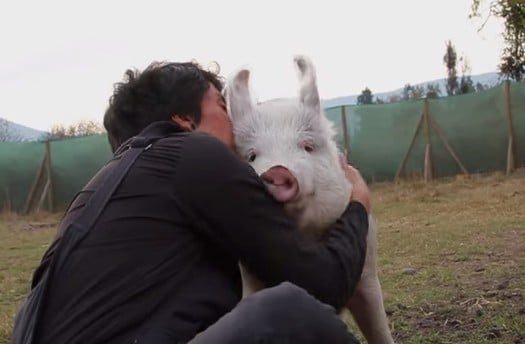 This Sweet Pig Is So Happy to See His Caretaker (VIDEO)
