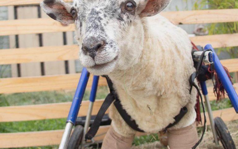 Esta ovejita abandonada no podía caminar, pero gracias a su rescatista tuvo una segunda oportunidad